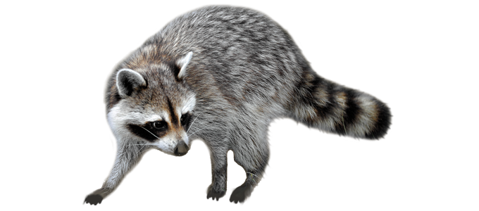 Raleigh Wildlife Removal - Raccoon, Squirrel, Opossum